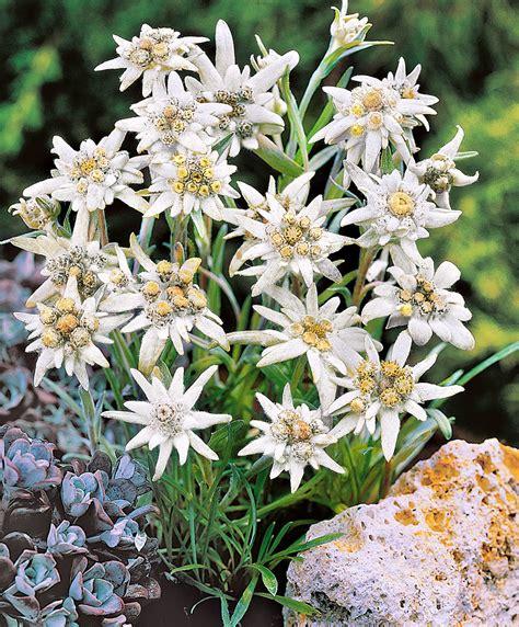 catalogo fiori bakker edelweiss bakker