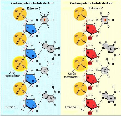 cadenas adn y arn arn qu 237 mica de las cadenas polinucle tidas del adn y arn