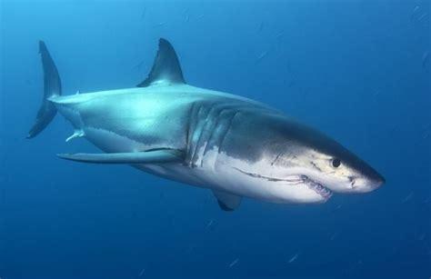 imagenes sorprendentes tiburones tiburones gigantes tiburon blanco related keywords