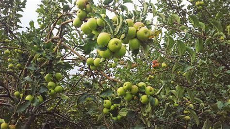 Jual Bibit Bayam Petik pohon apel manalagi www pixshark images galleries