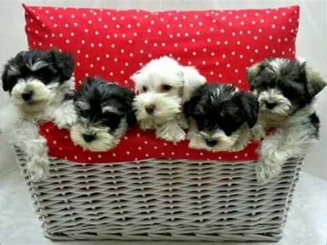pug puppies for sale in charleston sc miniature schnauzer puppies for sale local breeders funnydog tv