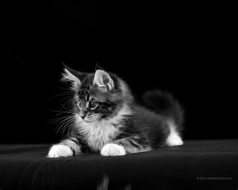 bureau ecran noir noir et blanc photos pour fonds d 233 cran chats chatons