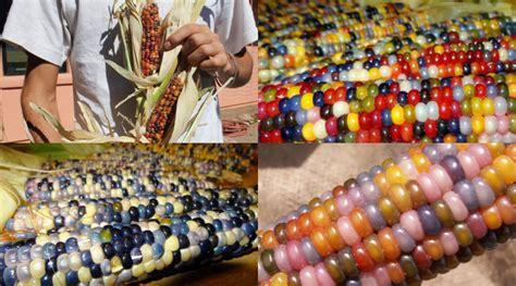 Bibit Jagung Popcorn wah jagung warna warni bak permen ini asli kabar berita artikel gossip wowkeren