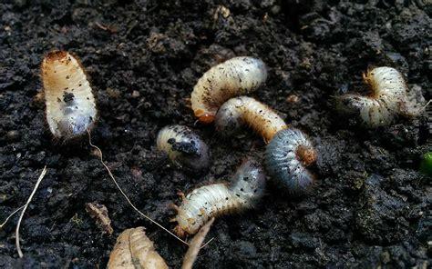 larven im garten larven in der pflanzerde rosenk 228 fer maik 228 fer oder junik 228 fer