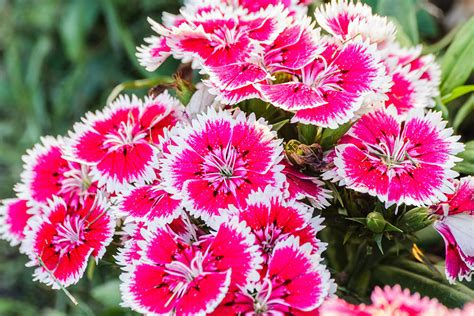 summer rebloomers mattia landscaping
