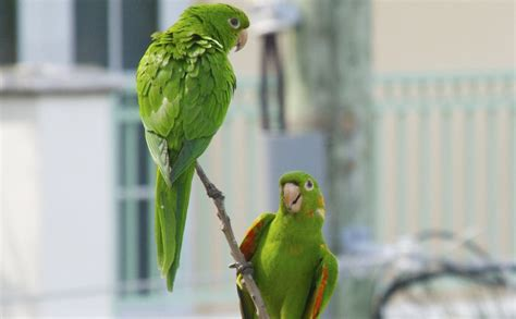 the wild green parrots of miami beach travelling banana