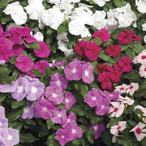 Cora Mix Vinca Flower Seeds Flowers In Vegetable Garden