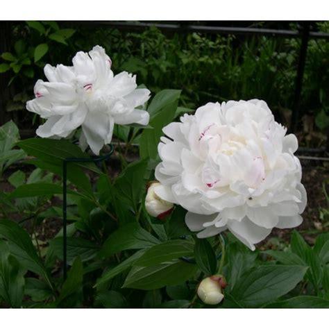 Benih Bibit Daun Bawang Fragrant bibit bunga peony white