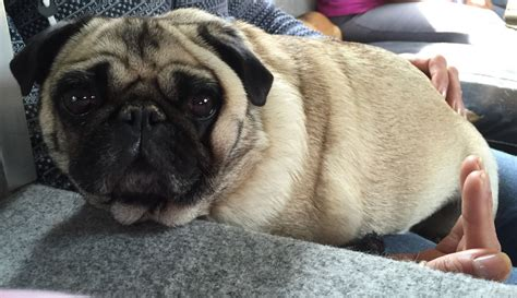 pugs for sale in uk pugs for sale bournemouth dorset pets4homes