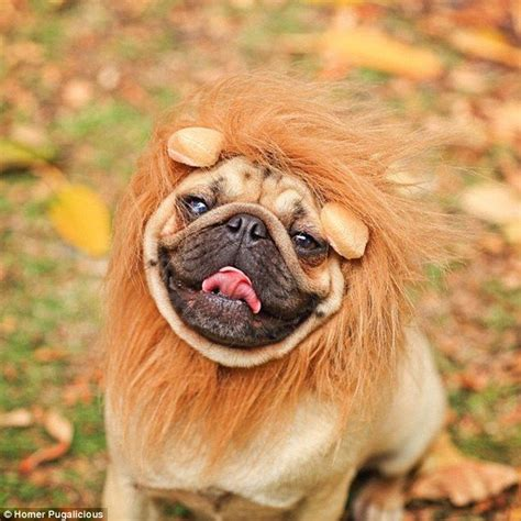 pug in pug costume 34 best pugs for images on puppies costumes and animals