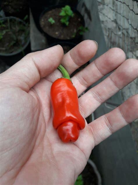 Benih Cabe benih cabe pepper