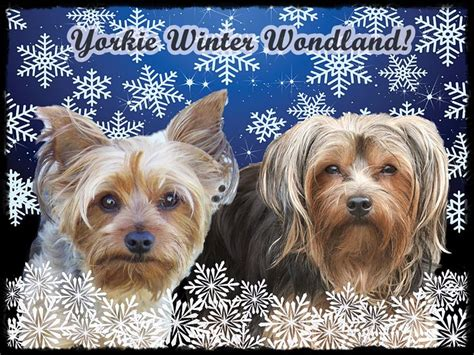 yorkies in the winter 1000 images about yorkie on pets puppys