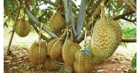 Benih Durian Udang Merah cita tani nursery ns0154959 d benih durian bantal