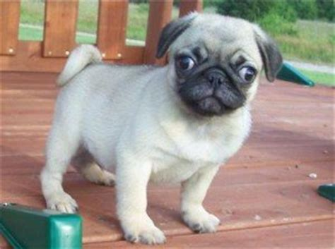 pugs for sale in ky quality pug puppies for adoption frankfort ky free classifieds in usa