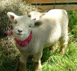 Miniature sheep breeds sheep for sale baby doll