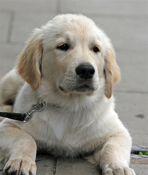 trained golden retrievers dogs are great companions dogs are great companions