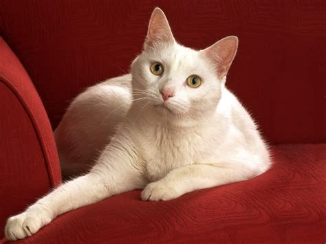 cat on the sofa white cat on a red sofa wallpapers and images wallpapers