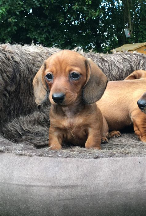 puppies for sale in wyoming dachshund puppies for sale jelm wy 202689 petzlover