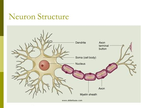 neuron diagram and functions related keywords suggestions for neuron structure