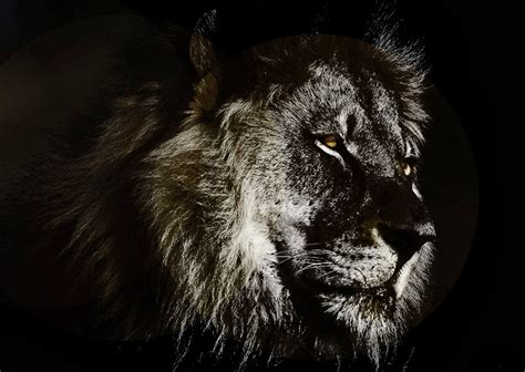 wallpaper black lion black lion hd wallpaper wallpapersafari
