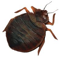 can bed bugs jump from person to person bed bug control treatment getting rid of bed bugs
