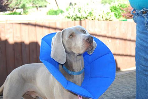soft e collar for dogs company of animals soft e smart collar for dogs cats