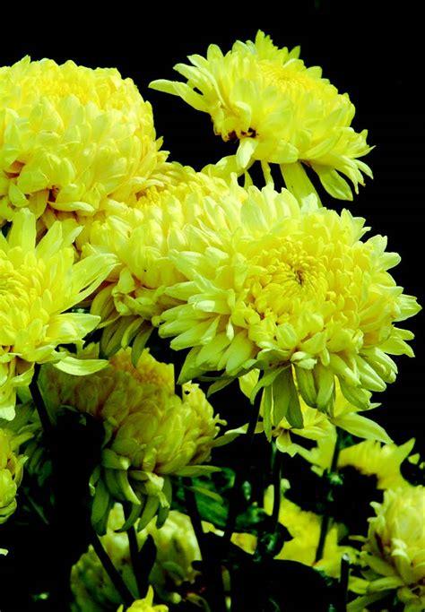 fiori crisantemi la rara bellezza crisantemo ital agro