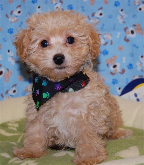 mini poodle weight poodle weight estimator dogs in our photo