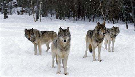 difference between wolf and differences between wolves and coyotes sciencing
