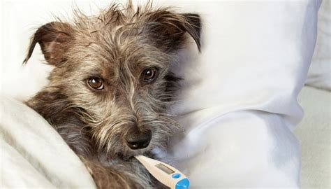 taking dogs temperature how to take a s temperature with a thermometer