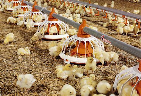 Tempat Produksi Pakan Ternak pembiakan ayam yang efisien berkat perangkat kandang dan