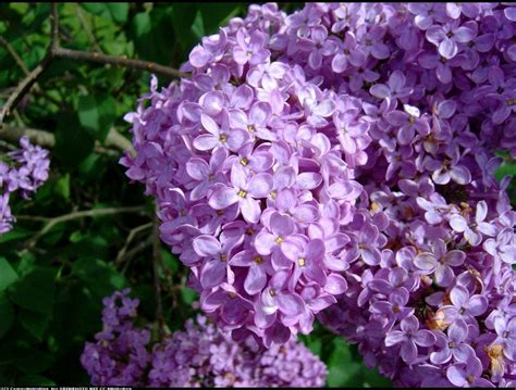 lilac flowers flowers for flower lilac flowers