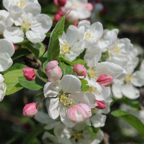fiori di melo melo da fiore e da frutto fiori e foglie