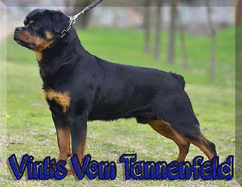 european rottweiler breeders rottweiler breeders rottweiler puppies for sale german rottweilers for sale