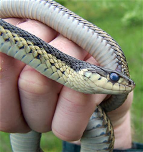 Garter Snake Belly Common Garter Snake Nongame New Hshire Fish And