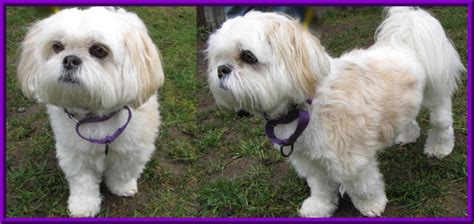haircuts for shih poo dogs haircuts for shih poo dogs hairstylegalleries com