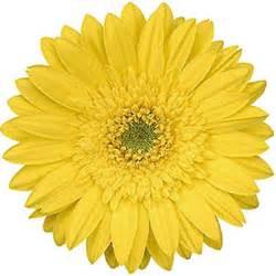 Make Jewelry - gerbera daisies yellow 70 stems sam s club
