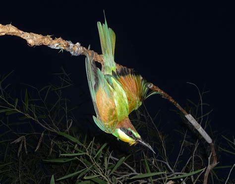 a bee eater on a limestick trap in cyprus