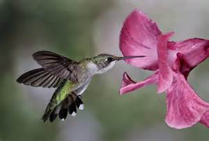 hummingbird photography lowcountry hummingbirds high