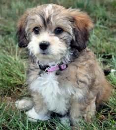 shih tzu dachshund shih tzu x dachshund about animals