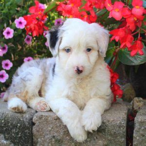 aussiedoodle puppies for sale pa aussiedoodle puppies for sale in in pa greenfield puppies breeds picture