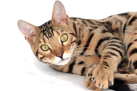 a sleeping tiger a novel of the breeds books cat breeds the bengal cat characteristics and