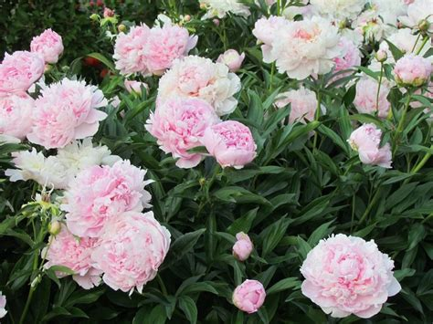 top 28 peony winter care peonies peonies peonies peony fall care herbaceous winter care of