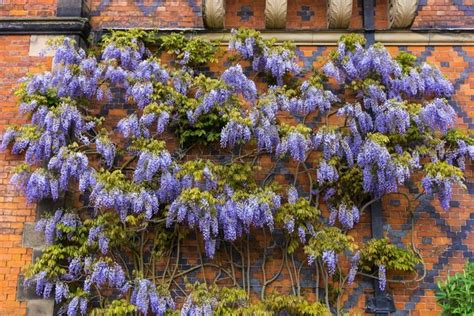 training wisteria vines to wall best wisterias for walls
