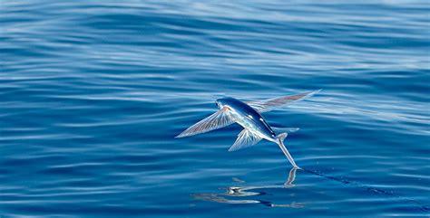 il pesce volante il pesce volante il riflesso nell acqua e il canto di