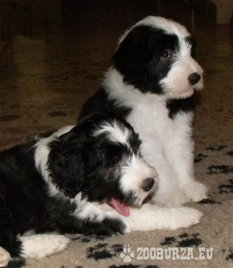 bearded collie puppies bearded collie puppies
