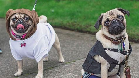 wars pugs wars pug parade is of the galaxy s cutest jedi