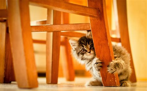 cat under wallpaper the kitten under the chair wallpapers and images