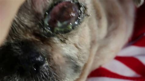 shih tzu eye infection eye infections 2 5 the 16 year shih tzu has a badly infected left eye pt 2