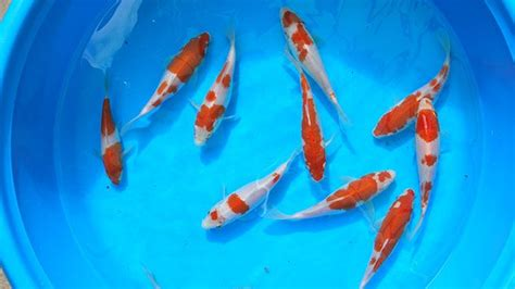 koi fish color meaning understanding koi fish color meaning lifedaily